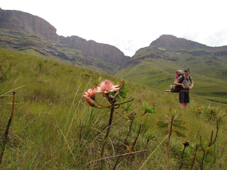 Drakensberg Protea