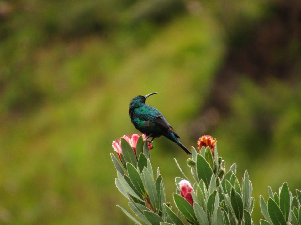 Malachite Sunbird Drakensberg