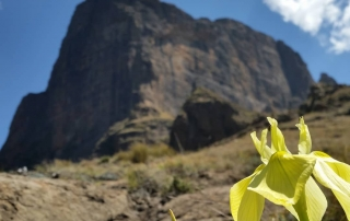 Golden Iris in front of Sentinel Peak, Drakensberg